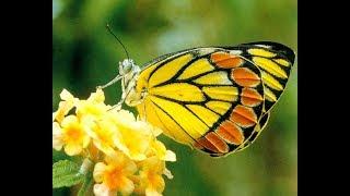 Liên Khúc Nhạc Thiếu Nhi - Kìa con bướm vàng; Xúc xắc xúc xẻ