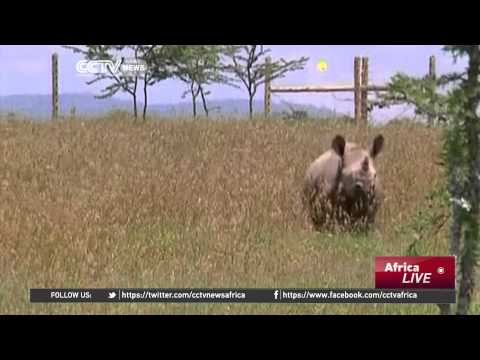 Saving the Northern White Rhino: Kenyan Conservancy Has Last Remaining Male