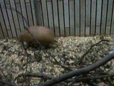 上野動物園のアルマジロ