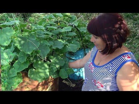 #Выращивание_огурцов в бочке. Growing cucumber in a barrel.
