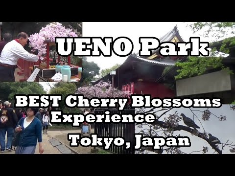 UENO Park, Best Cherry Blossoms Experience, Tokyo Japan