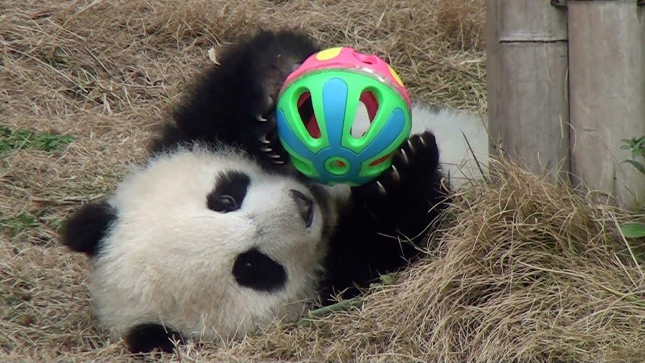 playing panda
