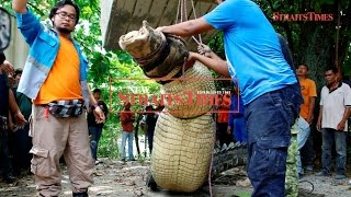 Massive 14-foot crocodile caught in Kuala Juru, Penang