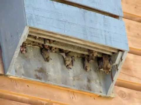 Bathouse where do bats live how to attract bats youtube for How to make a bat house