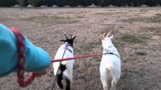 How to walk goats