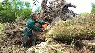 Cận cảnh khai thác cây gỗ Sao (gỗ quý hiếm) còn sót lại trong đầm lầy