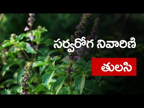 Amazing Benefits Of Tulsi/Basil For Skin, Hair And Health  ?