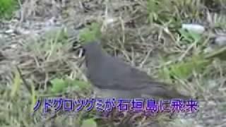 ノドグロツグミが石垣島に飛来