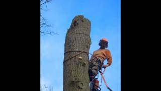 Chris Cunliffe Taking Down An Oak Stem Beddow Tree Specialists