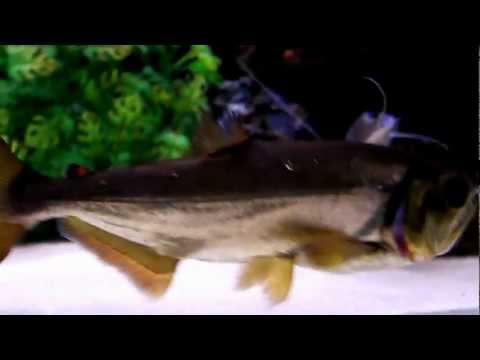 Sabertooth fish videos for Vampire fish for sale