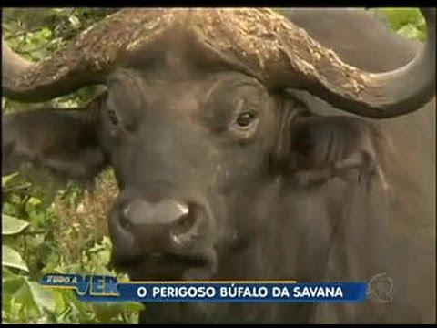 Tudo a Ver 08/06/2012: Búfalo é uma das cinco maiores feras do continente africano