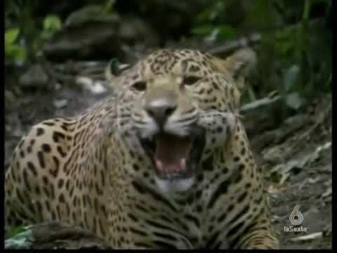 DUELO ANIMAL ANACONDA VS JAGUAR 5 5 FINAL YouTube - YouTube