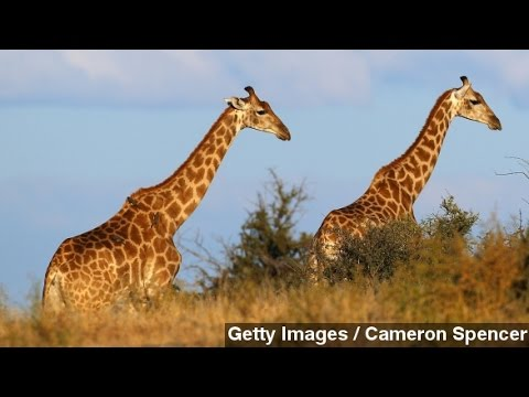 'Invisible' Extinction: Giraffe Population Down 40%