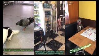 Oiseau tyson: Tyson au café