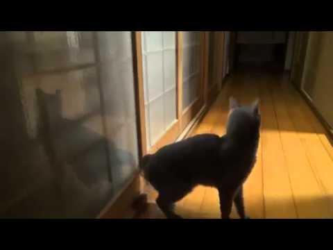Умный кот стучится в дверь )) это надо видеть!