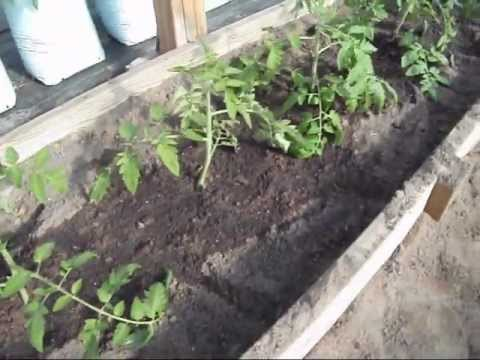 Planting Tomatoes Not So Deep