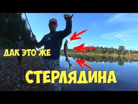 Ловля Стерляди. Безобразники опять ловили краснокнижную рыбу.