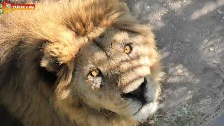 Лев Малыш - чемпион по ловле мяса! Тайган. Lion Malish Champion - Catches Meat. Taigan.
