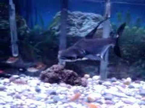 Paroon Shark Feeding