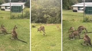 Kangaroo And Baby Joey Visit Back Garden