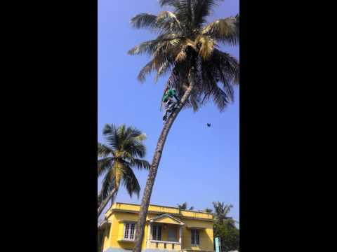 Art of Coconut tree climbing