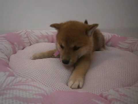 ペットショップCoo&RIKU 柴犬 297811