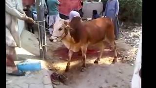 Angry Cow Qurbani 2016 | Dangerous Cow of the Year |