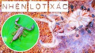 The molting process of Tarantula and the tiny Scorpion (Nhện lột xác và bọ cạp tí hon)