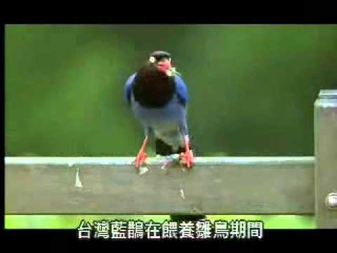 【陽明山國家公園管理處】台灣藍鵲的故事-哺育