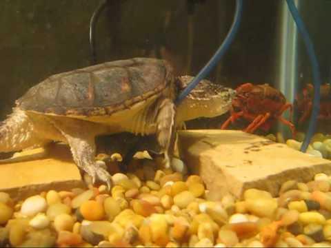 Snapping Turtle Eats Crawfish 3