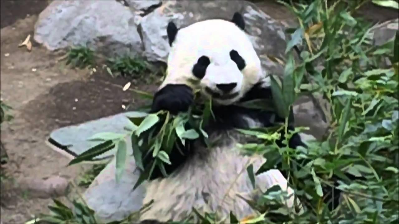 Baby Panda Eats Bamboo Youtube