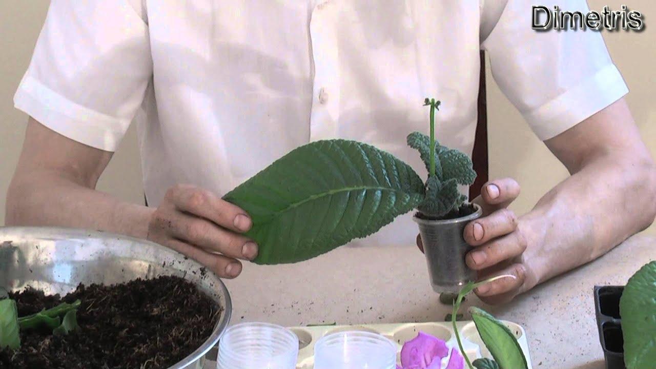 Как размножить глоксинию в домашних условиях листом фото пошаговый рецепт