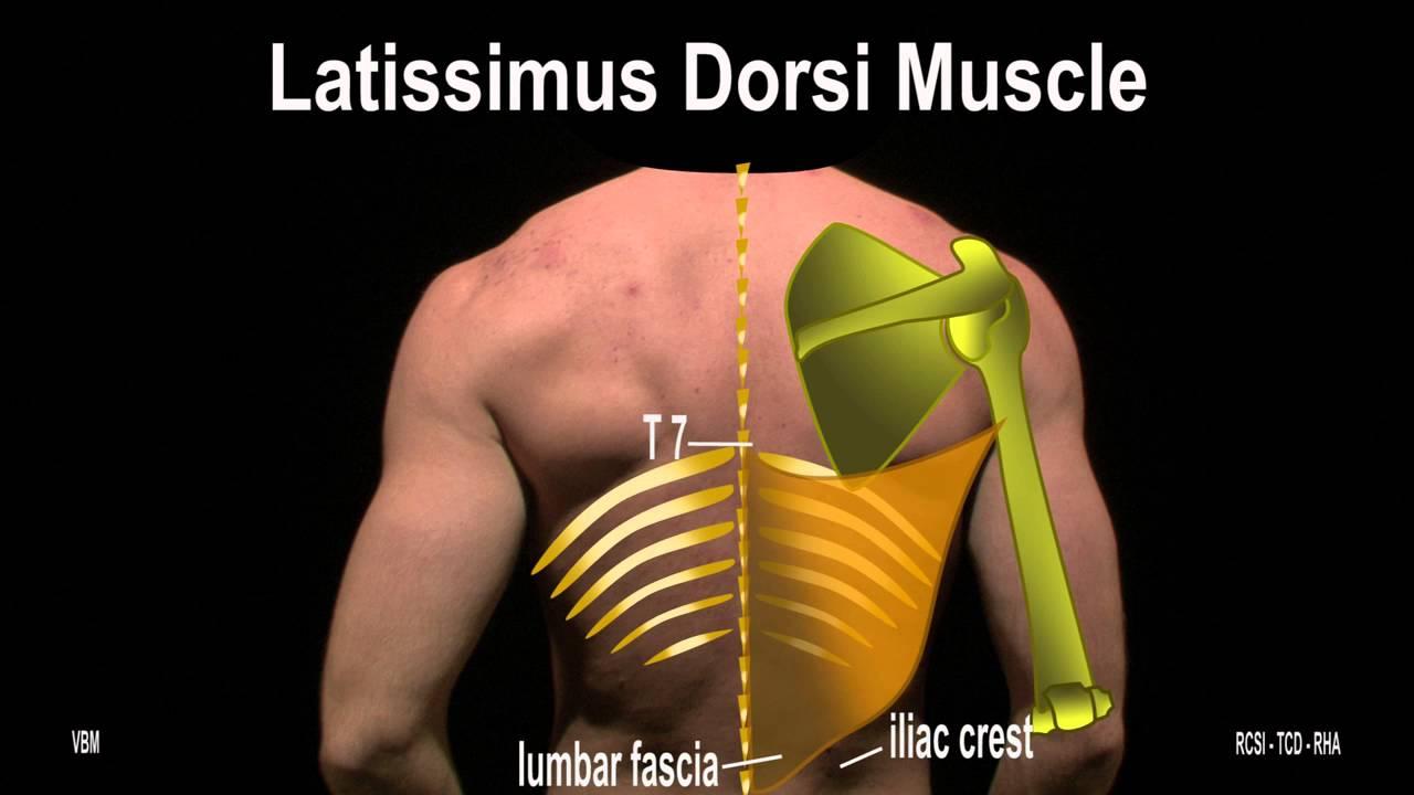 Shoulder girdle anatomy