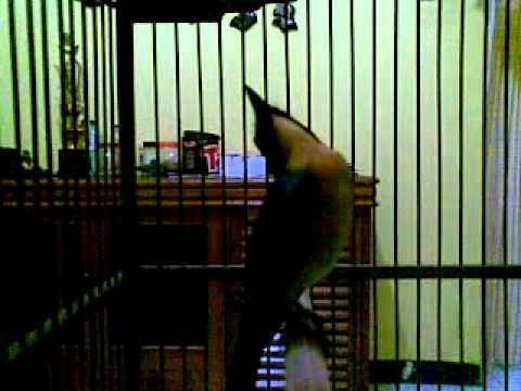 burung tledekan free mp4 video download   1