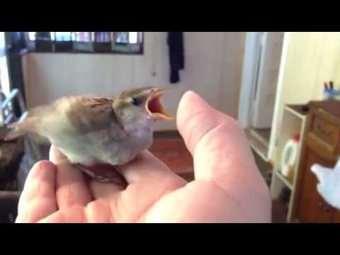 Raising A Baby Sparrow - by Mike Franzman