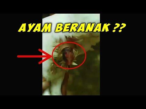 download lagu Ayam Zaman Now ! Bukan Bertelur Lagi Tapi Ber-anak gratis