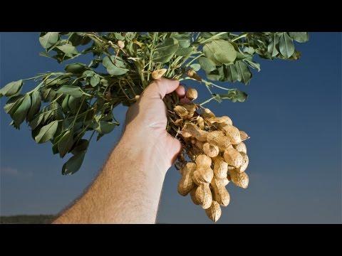 Clique e veja o vídeo Curso Produção de Amendoim de Qualidade