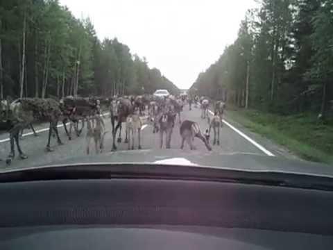 【画像】衝突事故を防ぐため角に蛍光塗料を塗られたフィンランドのトナカイが完全に幻獣wwwww