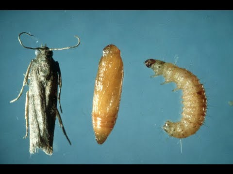 How To Get Rid Of Pantry Weevils Moths Youtube