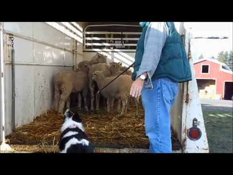 Stock Trailer -- How to Load and Unload -- Border Collie -- Herding Dog Training -- Farm Work Demo