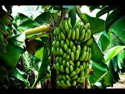 Growing Your Own Backyard Bananas - Planning and Planting for Great Fruit