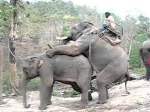 Fucking Elephant   ебля слонов video