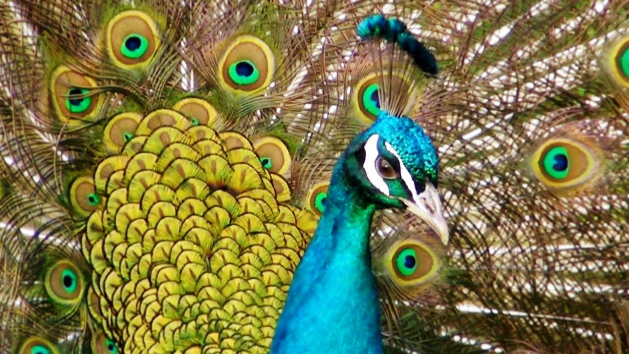 Jurassic Peacocks - Awesome Peacock Sound Call Scream and ...