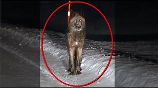 Massive Wolf Captured on Dash-Cam - Must Watch!!!
