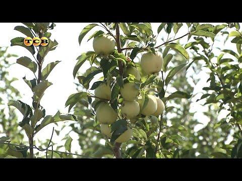 Колоновидная яблоня - 6 соток