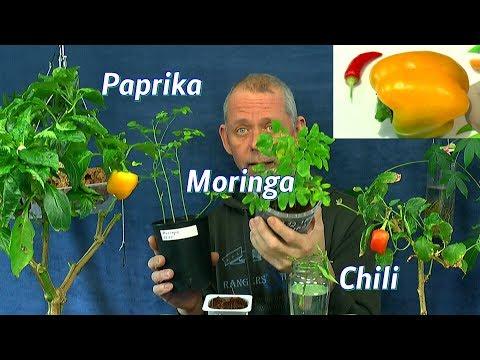 Paprika und Chili im Haus ernten, Moringa wächst weiter