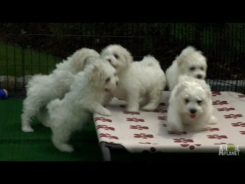 Fluffy White Pups | Too Cute!
