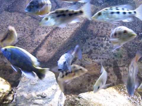 Fossorochromis rostratus - my beautiful juvie male colouring up  - video.avi