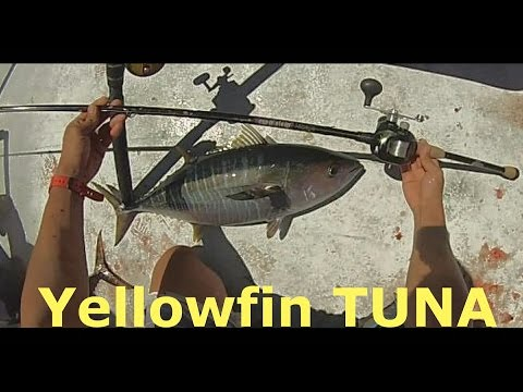 Yellowfin Tuna Fishing- Malihini - H&M Landing - San Diego, CA