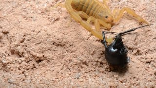 Scorpion Stings Black Widow (Warning: May be disturbing to some viewers)